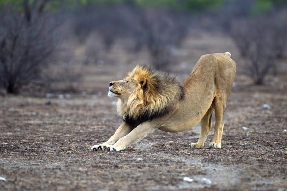 Panthera_leo_stretching_(Etosha,_2012)